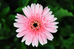 Pink gerber daisy Stock Images