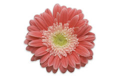 Pink Gerber Daisy Isolated royalty free stock image