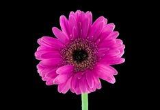 Pink Gerber Daisy royalty free stock photos