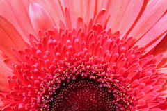 Pink gerber daisy maco Stock Photos