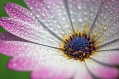 Pink Gerber daisy macro with water droplets on the petals.. Extr Stock Photo
