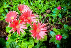 Pink gerber daisy macro with water droplets Royalty Free Stock Images