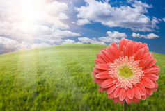 Pink Gerber Daisy Over Grass Field and Sky royalty free stock photography