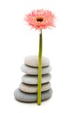 Pink gerber daisy and pebbles isolated on white. Pink gerber daisy and  pebbles isolated on white Stock Photography