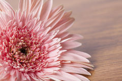 Pink gerber daisy on wooden background. Beautiful pink gerber daisy on wooden background Stock Photography