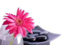Pink gerber flower Stock Photo