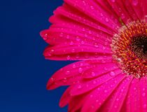 Pink gerber flower with drops. Isolated in blue background Stock Photography
