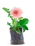 Pink gerber flower isolated in bag Royalty Free Stock Image