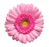 Pink Gerber flower Stock Photography