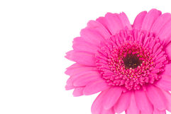 Pink gerber flower Royalty Free Stock Image