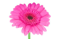 Pink gerber flower Royalty Free Stock Images