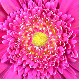 Pink Gerber Flower with Yellow Center Square Royalty Free Stock Photography