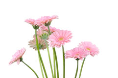 Pink gerber flowers Stock Image