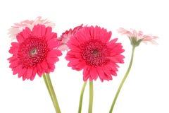 Pink Gerber flowers in closeup Stock Images