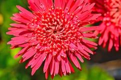 Pink gerber flowers Stock Photo