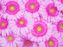 Pink Gerber flowers Royalty Free Stock Image