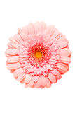 Pink Gerber Royalty Free Stock Photography