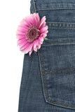 Pink gerber in jeans pocket Stock Images