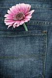 Pink gerber in jeans pocket Stock Photography