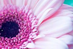 Pink gerber.Macro. Royalty Free Stock Photos