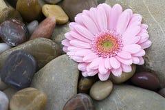 Pink gerber on stones Stock Photos