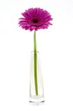Pink gerber in vase stock photography