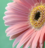 Pink Gerbera 1. Ultimate Pink Gerbera On Green. Very Slight diffusion,Tack Sharp stock image