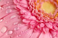 Pink gerbera. Flower with water drops Royalty Free Stock Photography