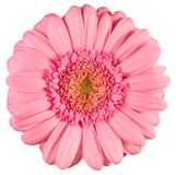 Pink gerbera. Isolated photo of pink gerbera flower Royalty Free Stock Photography