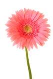 Pink gerbera Stock Images