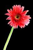 Pink gerbera. On black background Royalty Free Stock Photo