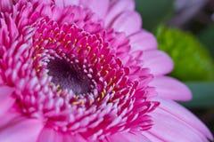 Pink gerbera. Detail of the arrangement of pink gerbera bouquet Royalty Free Stock Photos