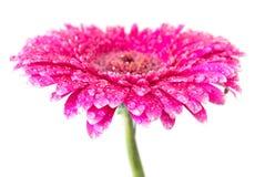Pink Gerbera Royalty Free Stock Images