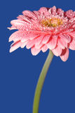 Pink gerbera. On the blue background Stock Photography