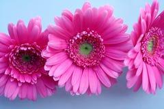 Pink Gerbera. Three pink Gerbera on fresh blue background,close-up stock photos