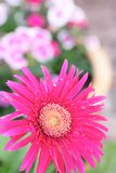 Pink Gerbera Stock Image