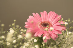 Pink Gerbera. Daisy Gerbera against an olive background royalty free stock images