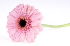 Pink gerbera Royalty Free Stock Photography