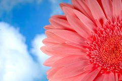 Pink Gerbera. Beautiful pink gerbera flower against blue sky with white clouds Stock Photo