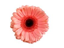 Pink gerbera. Isolated pink gerbera in a white background Royalty Free Stock Photos