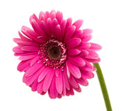 Pink gerbera Stock Photos