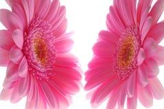 Pink gerbera royalty free stock photo