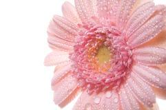 Pink gerbera. Royalty Free Stock Photo