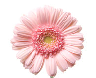 Pink gerbera. Stock Photo