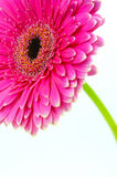 Pink Gerbera Royalty Free Stock Images