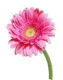 Pink Gerbera Stock Photo