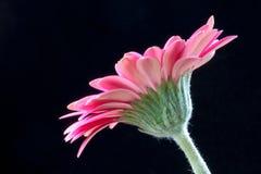 Pink Gerbera (Asteraceae) Royalty Free Stock Photography