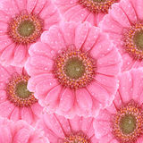 Pink Gerbera Background Royalty Free Stock Photography