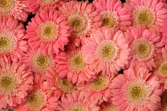 Pink gerbera background Royalty Free Stock Photo