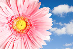 Pink gerbera on a background with sky and clouds Royalty Free Stock Photography